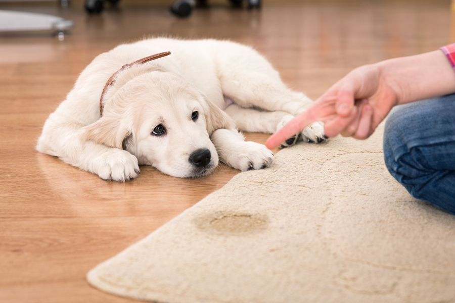 Gainesville pet stain Removal Services