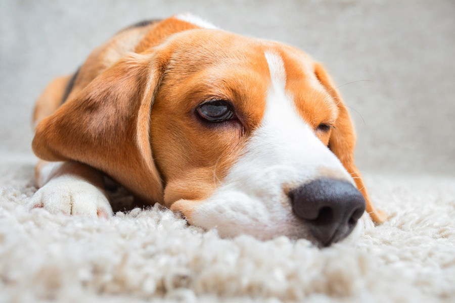 Gainesville Pet Odor Removal